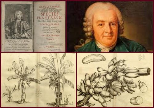 Újkor: Linné