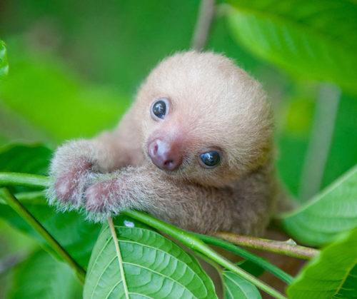 cute-sloths-320-580885a0d0510__700